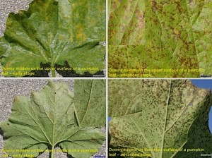 Cucurbit Downy Mildew on Pumpkin