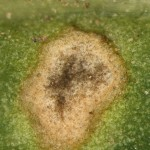close up of Cladsosporium leaf spot of spinach