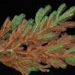 phytotoxicity to spruce from insecticidal oil application