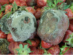 Botrytis fruit rot of strawberry