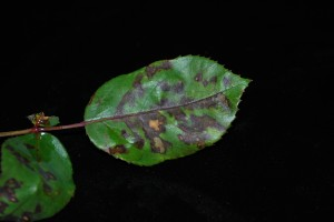 reddish-purple angular leaf lesions typical of downy mildew on rose