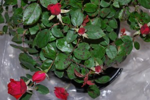 downy mildew on double knock out rose