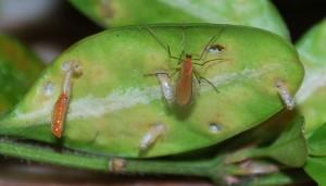 Freshly emerged Boxwood leafminer adult and pupal exuviae