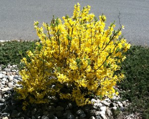 Forsythia in full bloom with green leaf tips.