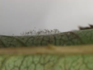 Peronospora sparsa