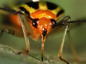 Piercing-sucking mouthpart of adult four-lined plant bug.