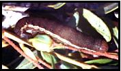 Cranberry blossomworm Larva