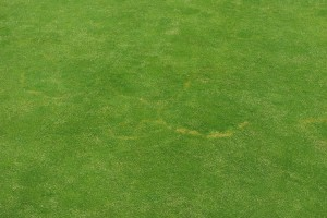 Brown ring patch on Poa annua - note the stimulated turf within the rings. Photo: Richard Buckley, Rutgers PDL