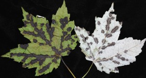 Maple leaf blister