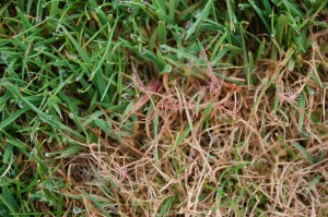 Pseudoclerotia (red threads) of Isaria fusiformis are clearly evident on red thread infected fine fescue.