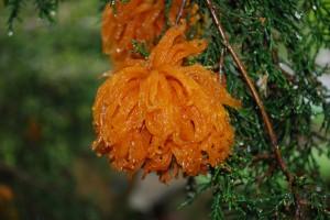 Telia of Gymnosproangium juniperous-virginianae