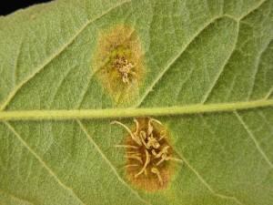 Gymnosporangium aecia on apple