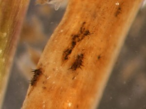 anthracnose acervuli for blog