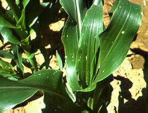 European corn borer damage in whorl stage sweet corn