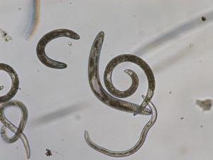 Spiral and stunt nematodes. Photo: Sabrina Tirpak, Rutgers PDL
