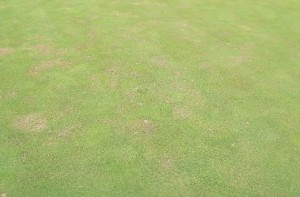 Thinning of bentgrass green with high nematode populations. Photo: Richard Buckley, Rutgers PDL