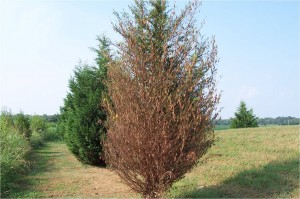Bagworm Defoliation of Leyland Cypress