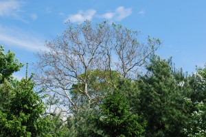 Canopy of an old sycamore left naked by sycamore anthracnose. Photo: Richard Buckley, Rutgers PDL
