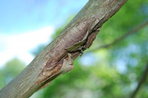 Twig canker on anthracnose affected sycamore. Photo: Richard Buckley, Rutgers PDL