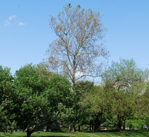 Sycamore anthracnose. Photo: Richard Buckley, Rutgers PDL