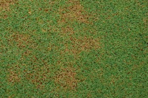 Bipolaris leaf spot on velvet bentgrass. Photo: Sabrina Tirpak, Rutgers PDL