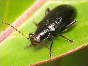 Red-headed flea beetle with prominent reddish head and shiny black thorax and abdomen (4.5-6.5 mm)