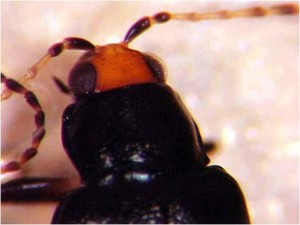 Red-headed flea beetle up-close view