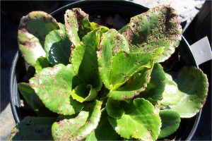 Red-headed flea beetle feeding damage to Sedum crop; Photo by Steven K. Rettke