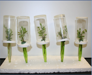 Semi-field bioassay testing efficacy of insecticides on leafhoppers.