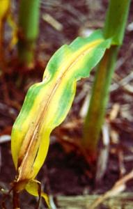Nitrogen Deficiency Corn Photo by USD