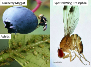 The Big Three Insect Pests of Blueberry
