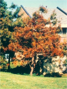 Maskell scale killed this black pine. Photo: Richard Buckley, Rutgers PDL