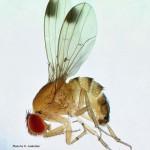 Spotted Wing Driosophila