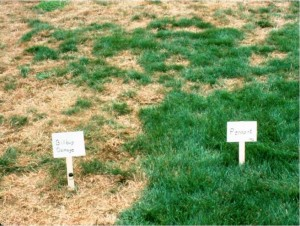 Endophyte-enhanced ryegrass resists billbug feeding in turf trial. Photo: Phillip Halisky, Rutgers UniversityIntercellular hyphae of the Neotyphodium endophyte. Photo: Phillip Halisky, Rutgers University