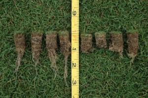 Reduction in root mass from nematode feeding. Photo: Anonymus
