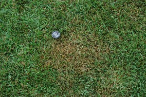 Brown patch in tall fescue. Photo: Sabrina Tirpak, Rutgers PDL