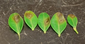 Boxwood blight leaf lesions. Photo: Sabrina Tirpak, Rutgers PDL