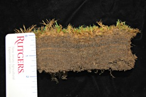 Thatch accumulation on putting green. The thatch was super-saturated and the grass was infested with Curvularia. Photo: Sabrina Tirpak, Rutgers PDL