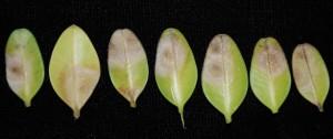 Cylindrocladium pseudonaviculatum sporulates on boxwood leaves. Photo: Sabrina Tirpal, Rutgers PDL