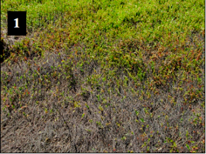 Damaged, Dead Patches in Cranberry