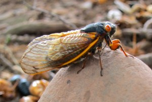 Adult periodical cicada. Photo: Kim Greene