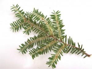 Spruce Spider Mites & Hemlock