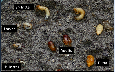 Phyllophaga Developmental Stages