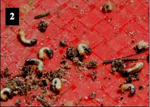 Phyllophaga Grubs