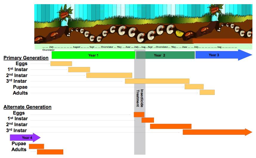 Phyllophaga Life Cycle
