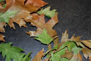 Irregular leaf scorch due to Xylella infection. Photo: Richard Buckley, Rutgers PDL