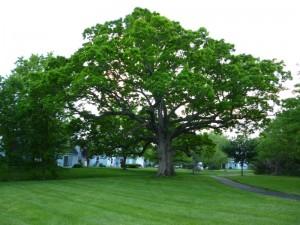 Oak Lace Bug & Large Trees