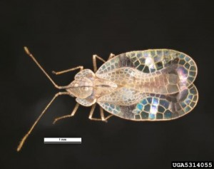 Oak Lace Bug Compared to Azalea Lace Bug