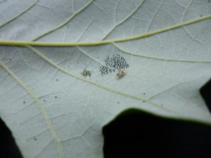 Oak Lace Bug Eggs, 1st Instars, & Adult