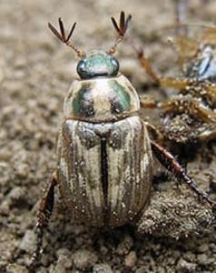 Oriental beetle adult male screening the air for sex pheromone